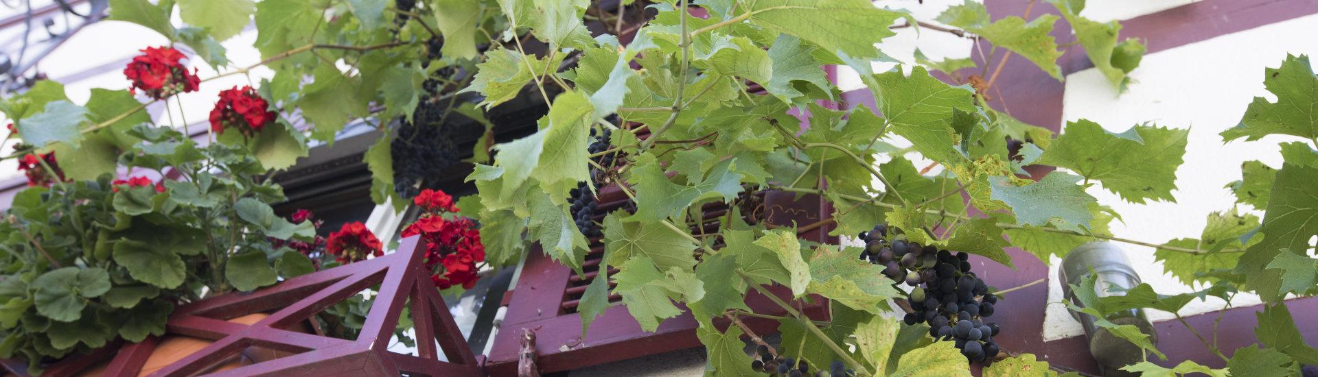 Foto: Nahaufnahme eines Laufer Hauses mit Weinranken